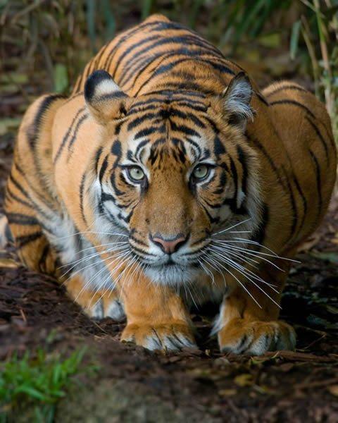 crouching tiger