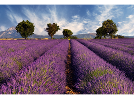 Lavender Fields framed canvas