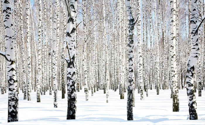 Snow Birches Winter Trees wall murals Dezign With a Z