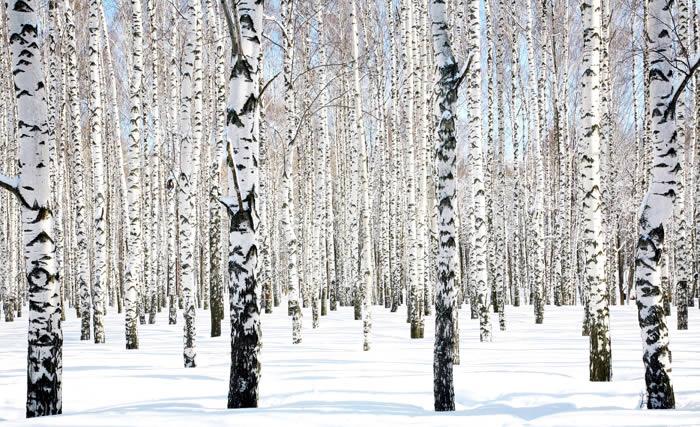 Snow Birches Winter Trees wall murals