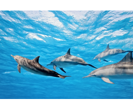 Dolphins wall murals