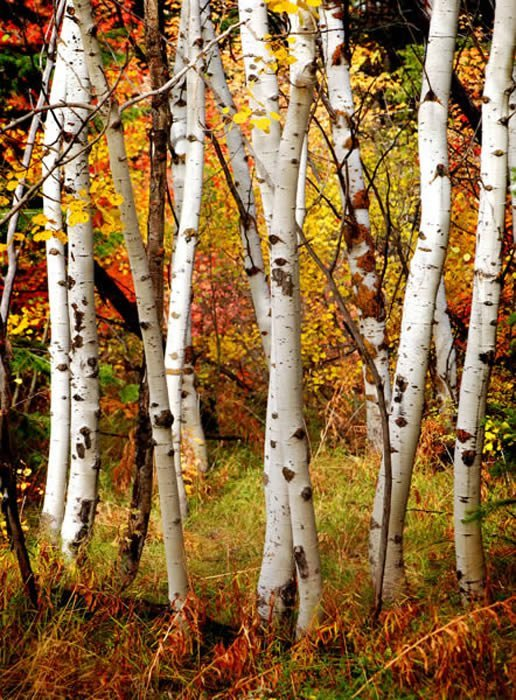 Fall Birch Trees Reusable Wall Murals Fall Birch Trees Reusable Wall Murals
