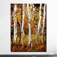 Fall Birch Trees digital photo canvas