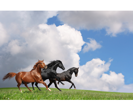 Horses wall papers