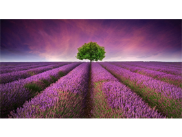 Lavender Trees Sky wall canvas