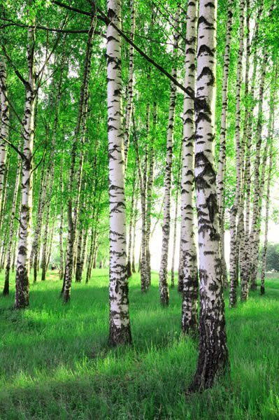 Spring Birch Trees wall mural