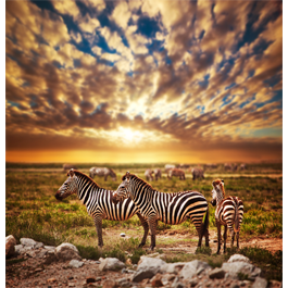 Savannah Zebras wall papers