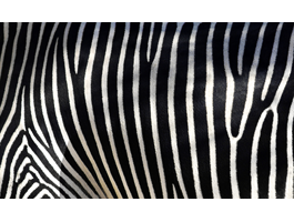 Zebra iPhone decals skin
